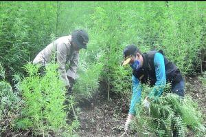 BNN, Polisi, dan TNI Temukan 6 Hektare Ladang Ganja di Madina
