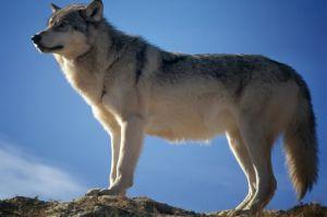 Syaikh Abdul Qadir al Jilani tentang Derajat (Kebesaran) dan Serigala