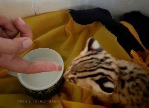 Petugas TNGC Terima Kucing Hutan dari Warga Kuningan