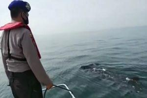 Migrasi dari Australia, Kawanan Hiu Tutul Kembali Muncul di Perairan Pasuruan