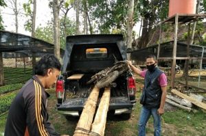 Dikejar Polisi Hutan, Pencuri Kayu Jati Lari Terbirit-birit