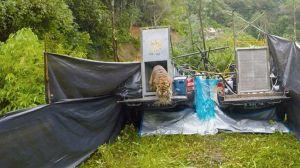 Dua Harimau Sumatera, Putra Singgulung dan Putri Singgulung Dilepas ke Alam Liar