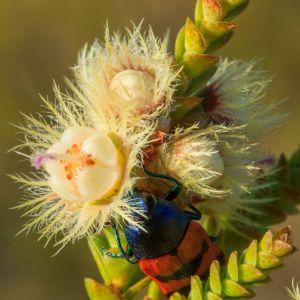 Pria Australia Temukan Bunga Bulu Hybrid yang Eksotis