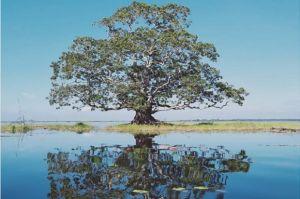 Misteri Pohon Setia Raja di Danau Melintang, Ada Kehidupan Kota Tak Terlihat