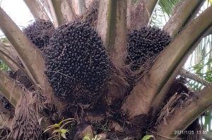 Diterjang Pandemi COVID-19 Harga Sawit Stabil, HKTI Sebut Berkah Bagi Petani
