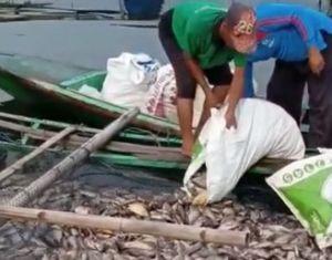 Puluhan Ton Ikan Mati Mendadak di Waduk Saguling