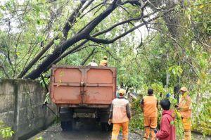 Cuaca Ekstrem, 7 Pohon Tumbang di Semper Timur Jakarta Utara