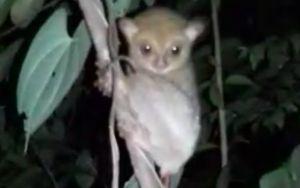 Alobi Lepasliarkan Dua Primata Jenis Tarsius ke Habitatnya