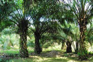 MA Tolak Gugatan Pengembalian Ribuan Hektar Kebun Sawit di Riau
