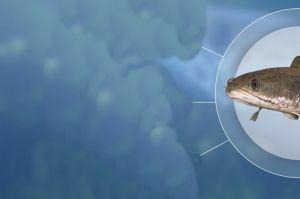 Budidaya Ikan Gabus Jangan Anggap Remeh, Penghasilan 2 Kali Lipat Petani Sawit