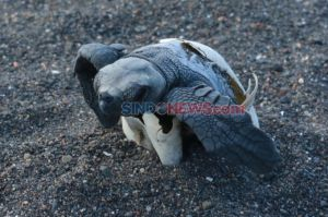 Banyuwangi Sea Turtle Foundation Berhasil Tetaskan Telur Penyu Secara Semi Alamiah