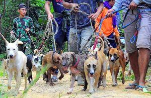 Olahraga Berburu Babi di Jambi