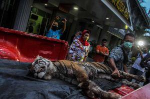 Harimau Sumatera di Riau Mati Terjerat