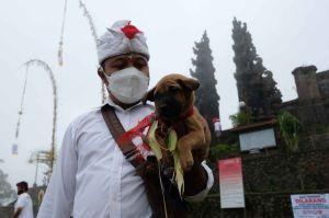Mengintip Ritual Penyucian Hewan Kurban di Bali