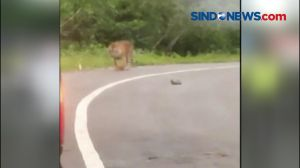 Seekor Harimau Sumatera Memasuki Permukiman Warga