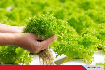 Menaman dan Memanen Keuntungan dari Bisnis Tanaman Hidroponik