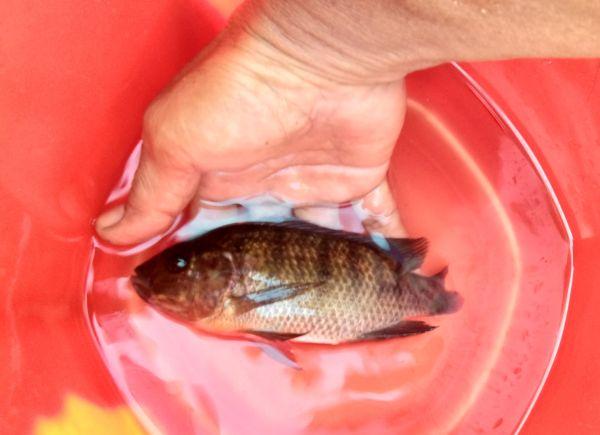 Cerita Mbah Moedjair Penemu Ikan Mujair Asal Blitar