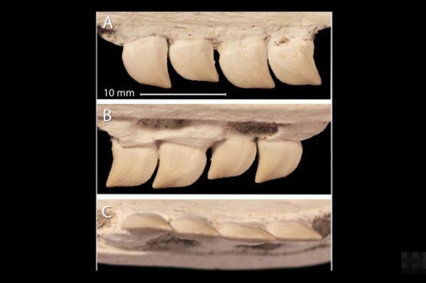 Mineros marroquíes descubren fósiles de peces antiguos con dientes afilados