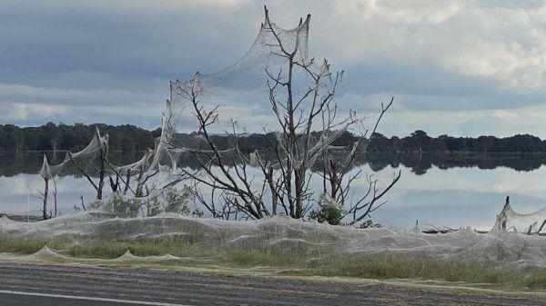 Extraño fenómeno, las telarañas cubren las ciudades australianas, ¿cuáles son las señales?
