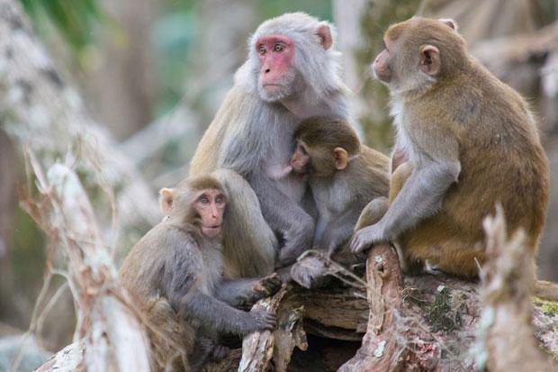 Kronologi Gerombolan Monyet Begal Sampel Darah Pasien Positif Corona