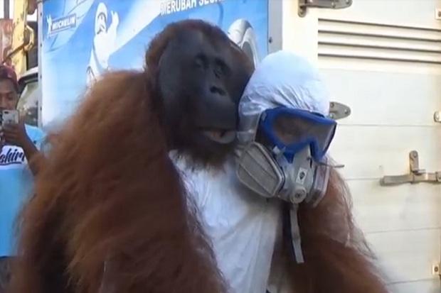 Bikin Resah Warga karena Masuk Kebun Nanas, Orangutan Ini Ditangkap
