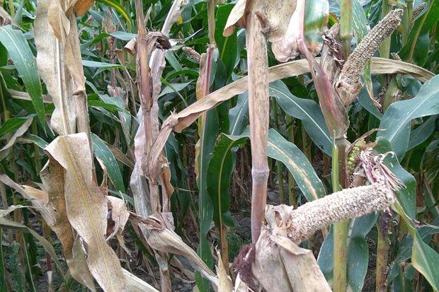 500 Hektare Tanaman Pertanian Blitar Diganyang Tikus