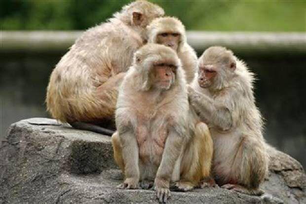 Monyet yang Pernah Terinfeksi Corona Kebal Terhadap Virus Serupa