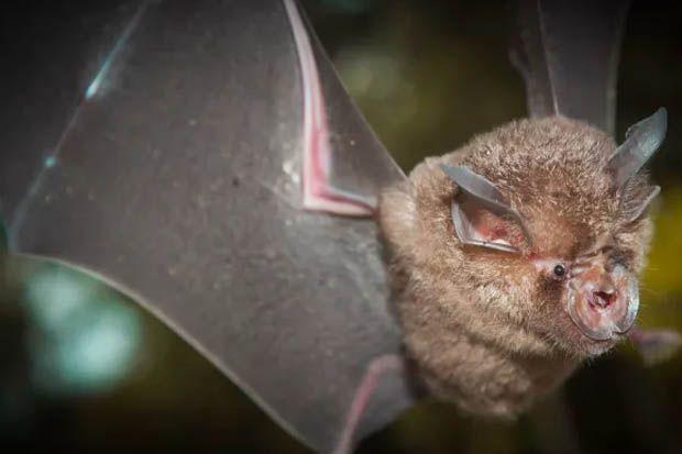 Nenek Moyang Virus Corona Bersembunyi di Kelelawar
