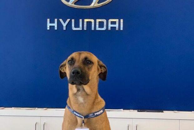 Anjing Liar Jadi Duta Penjualan Hyundai di Brazil