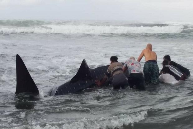 Hiu Tutul 1,5 Ton Terdampar di Pantai Bali, Hingga Kini Belum Berhasil Dievakuasi ke Laut