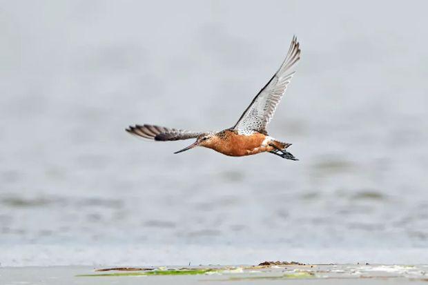 Burung Ini Terbang 12.000 Kilometer Non-Stop dari Alaska ke Selandia Baru