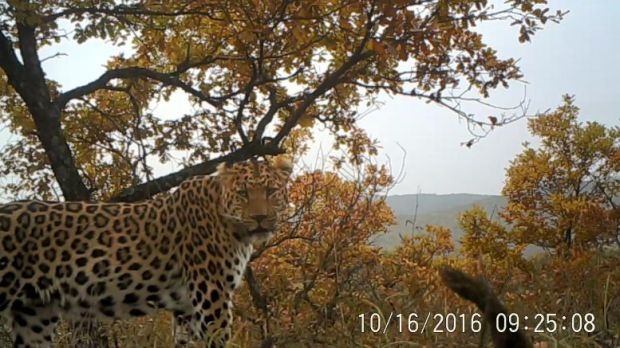 Peneliti Heran, Populasi Macan Tutul di China Meningkat