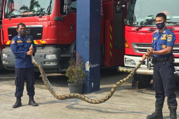Ular Sanca 4 Meter Bikin Geger Warga Cengkareng, Evakuasi Butuh Dua Jam