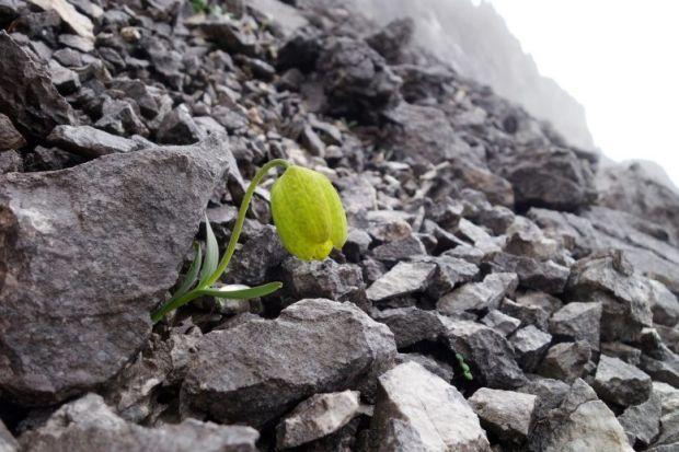 Tanaman Langkah untuk Pengobatan Tradisional Ditemukan di Gunung Hengduan