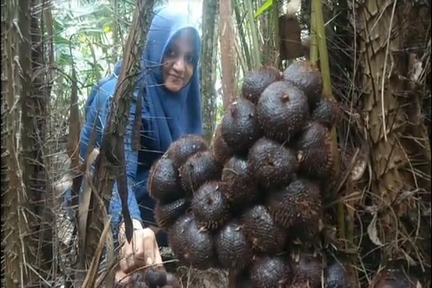 Unik, Warga 1 Desa di Aceh Ramai-ramai Tanam Pohon Salak di Halaman Rumah
