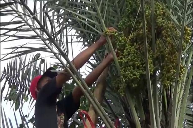 Pohon Kurma Berbuah Lebat di Ponorogo, Dipercaya Bisa Tingkatkan Kesuburan