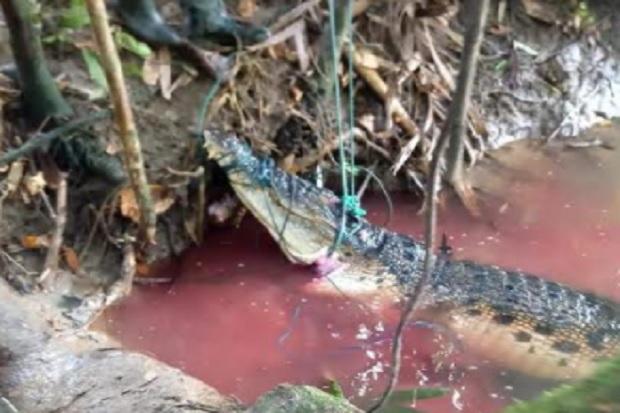 Buaya Ganas di Sungai Taikako Terjerat Jebakan, Dagingya Jadi Santapan Warga