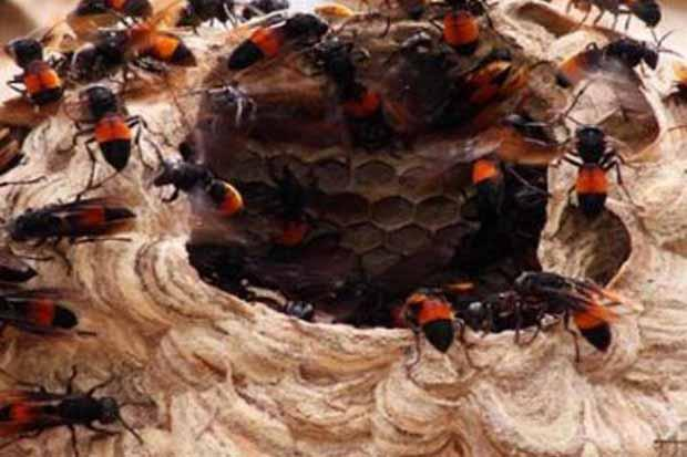 Sok Jagoan, Maling Puluhan Sarang Lebah Madu Blitar Kena Batunya