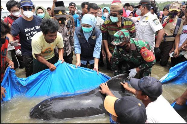 Puluhan Ekor Ikan Paus Mati Terdampar di Pesisir Perairan Bangkalan, Madura