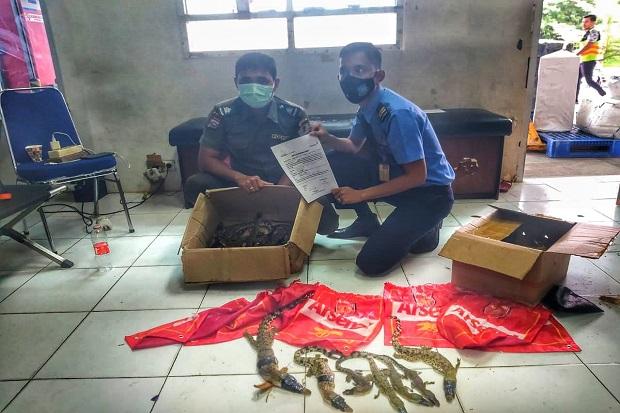 Puluhan Buaya Diselundupkan ke Jakarta Lewat Bandara Pekanbaru, 7 Mati dan 15 Masih Hidup