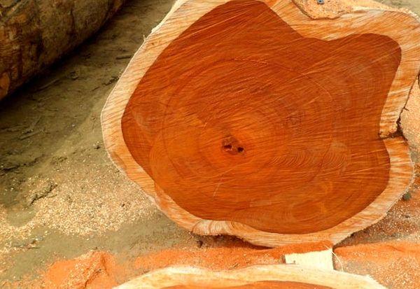Renungan: Meraih Suksesi, Belajar dari Pohon Jati