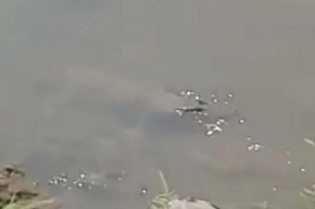 Penampakan Buaya di Sungai Sadar Mojokerto Viral, BBKSDA Jatim Sisir Lokasi