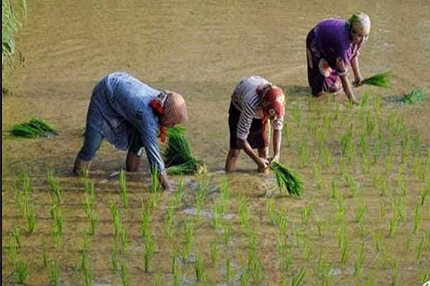Petani di Simalungun Kecewa Bantuan Korporasi Pertanian Rp350 Miliar Simpang Siur