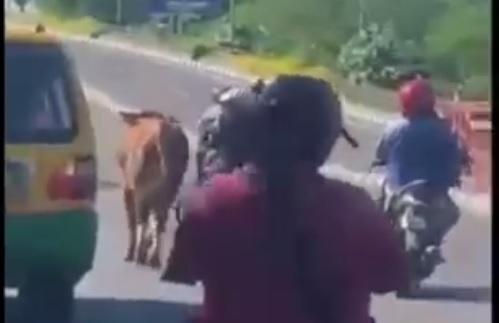 Geger, Sapi Kurban Mengamuk hingga ke Jalan dan Menabrak Pemotor