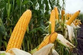 Plafon hanya Rp70 Triliun, KUR Pertanian Sudah Terserap Rp44,5 Triliun