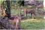 Bekerja di Ladang, Ramlan Tewas Diterkam Harimau Lapar