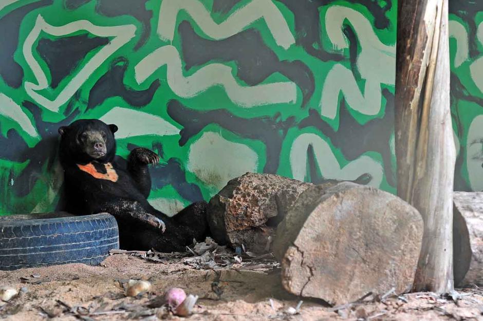 Mangsa Ternak Warga, Seekor Beruang Madu Diselamatkan BSKDA Jambi-0