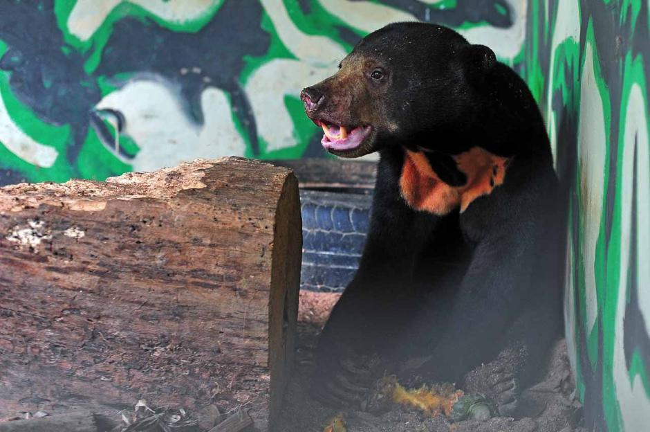 Mangsa Ternak Warga, Seekor Beruang Madu Diselamatkan BSKDA Jambi-2