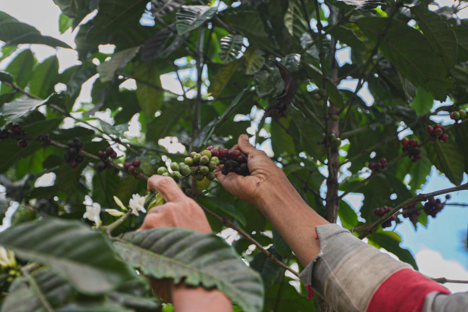 Menikmati Aroma Kopi Wine Dari Desa Cisadon-1
